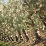 L'olio Titone è il 3° classificato nella categoria Fruttato Medio